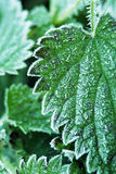 Stinging Nettles Royalty Free Stock Photo