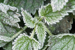 Stinging Nettles Royalty Free Stock Photos