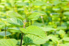 Stinging nettles Royalty Free Stock Images