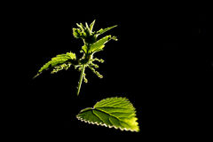 Stinging Nettles. In the evening sunlight against a black background Royalty Free Stock Image