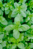 Stinging nettles, growing as a herb Royalty Free Stock Image