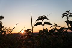 Stinging nettles by sunset stock photo