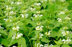 Stinging nettles (Urtica). Flowering stinging nettles (Urtica) in a meadow stock photography