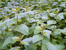 Stinging Nettles (Urtica dioica) Royalty Free Stock Images