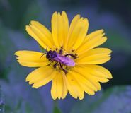 Stingles蜂 免版税库存图片