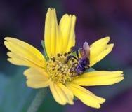 Stingles pszczoła Obraz Royalty Free