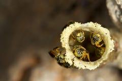 Stingless μέλισσα Jatai στην είσοδο κεριών στην κυψέλη τους - angustula tetragonisca Στοκ φωτογραφία με δικαίωμα ελεύθερης χρήσης