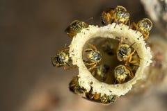 Stingless μέλισσα Jatai στην είσοδο κεριών στην κυψέλη τους - angustula tetragonisca Στοκ εικόνα με δικαίωμα ελεύθερης χρήσης