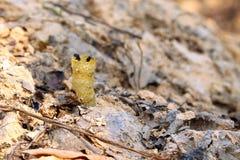 Stingless пчела Стоковые Фото