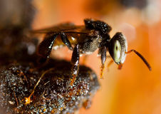 Stingless Bee Stock Photo