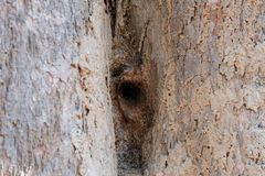 Stingless bee hive in tree. insect nest. In nature royalty free stock images