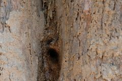 Stingless bee hive in tree. insect nest. In nature stock photo