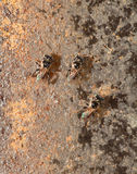 Stingless bee living in metal hole close up Royalty Free Stock Images