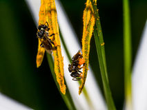 Stingless Bee Royalty Free Stock Photography