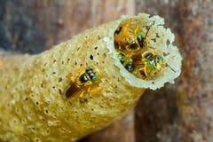 Stingless Bees Stock Photos