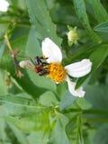 Stingless bee royalty free stock photography
