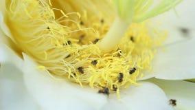 Stingless Bij het zwermen stuifmeel van bloem stock videobeelden