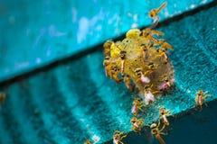 Stingless bin som flyger runt om redet, Stingless bin på redehålet, blå bakgrund, Apinae, Brasilien arkivfoto