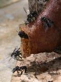 Stingless Honey Bees stockfotos