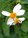 Stingless pszczoła, Kelulut pszczoła obraz stock