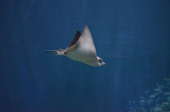 Stingray με ένα κοντό απότομο χτύπημα που κινείται κατά μήκος υποβρύχιου Στοκ Εικόνα