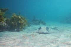 Stingray στην άμμο δίπλα στο δύσκολο σκόπελο Στοκ Εικόνα