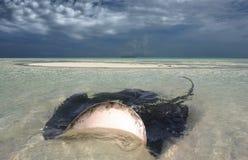 Stingray в мелководье Стоковое Фото