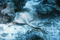 Stingray Fotografia de Stock Royalty Free