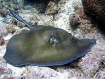 Stingray Stock Photos