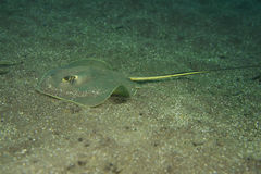 Stingray Royalty Free Stock Photos
