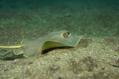 Stingray Royalty Free Stock Images