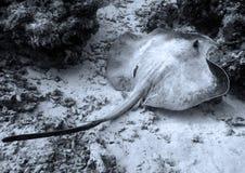 STINGRAY. Diving on Maldives Indian ocean Stock Photos