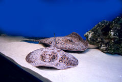 Stingray. Leopard stingray in aquarium wildlife Royalty Free Stock Photos