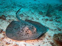 Stingray  Stock Photography