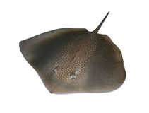 Stingray Fotografia de Stock