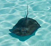 Stingray Royalty Free Stock Photography