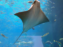 stingray Image stock