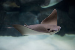 Stingray imagem de stock royalty free