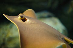stingray Stockbild