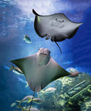 stingray Images libres de droits
