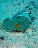 Stingray Royalty Free Stock Image