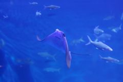 Stingray Fotografie Stock