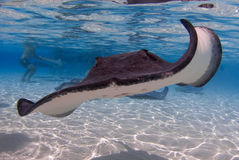 stingray Photo libre de droits