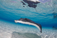 Stingray Stockfoto