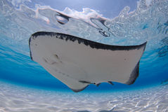 Stingray Stock Images