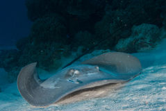 Stingray approach Stock Photography