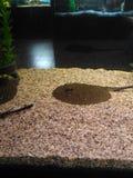 Stingray in an aquarium royalty free stock photos