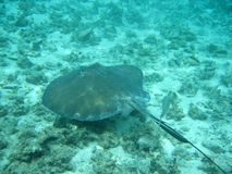 Stingray in belize central america. Snorkeling in belize central amercia Stock Photography