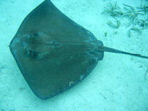 Stingray in belize central america. Snorkeling in belize central amercia Royalty Free Stock Photo