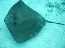 Stingray in Belize Zentralamerika Lizenzfreies Stockfoto